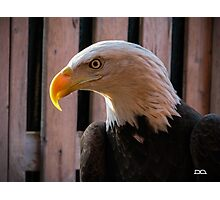 Piper the Bald Eagle Photographic Print