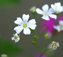 Forget me not flower by Jsrosephotos