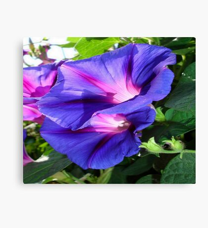 A Pair of Vibrant Morning Glories In Full Bloom Canvas Print