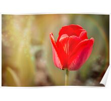Red Tulip in Magic Atmosphere Poster