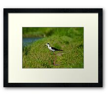 Black-winged Stilt Framed Print