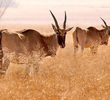 Backlit Eland - Drakensberg, South Africa by Sharon Bishop