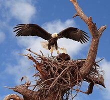 BALD EAGLE LANDING IN NEST by TomBaumker