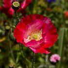 Pink Flower by Cara Merino