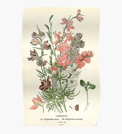 Favourite flowers of garden and greenhouse Edward Step 1896 1897 Volume 1 0041 Larkspurs Poster