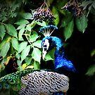 Peacock and elderberries by missmoneypenny
