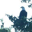 Bald Eagle by Zeb Shaffer