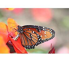 Orange Monarch Photographic Print