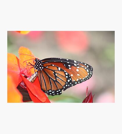 Orange Monarch Photographic Print