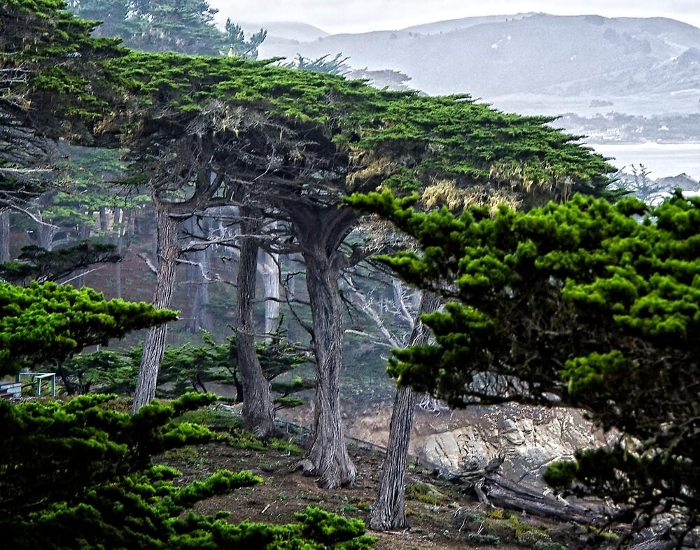 Monterey Cypress by Yukondick