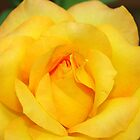 Yellow rose by Kerry  Hill
