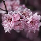 Pink Blossom of Prunus  by Joy Watson