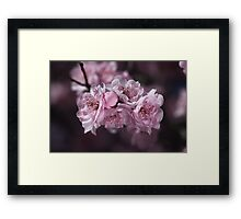 Pink Blossom of Prunus  Framed Print