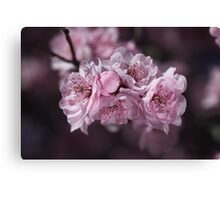 Pink Blossom of Prunus  Canvas Print