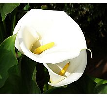 Beautiful White Calla Flowers In Bright Sunlight Photographic Print
