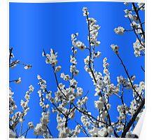 Beautiful White Umenohana Plum Blossoms Illustration Poster