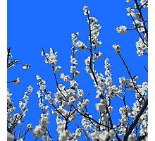 Beautiful White Umenohana Plum Blossoms Illustration Photographic Print