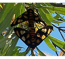 Paired Butterflies Photographic Print