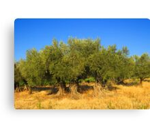Olives Trees Canvas Print