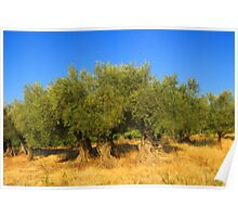 Olives Trees Poster
