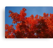 Scarlet maple leaf flames and a clear blue sky Canvas Print