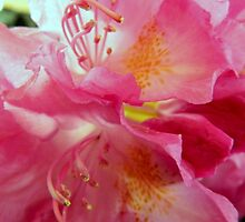 My Pink Rhodos by ctheworld