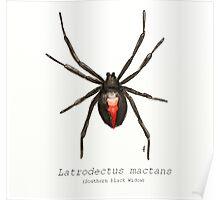 Latrodectus mactans (southern black widow) Poster