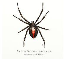 Latrodectus mactans (southern black widow) Photographic Print
