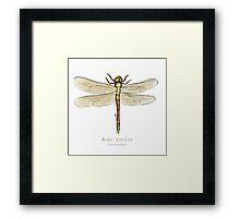 Anax junius (green darner) Framed Print