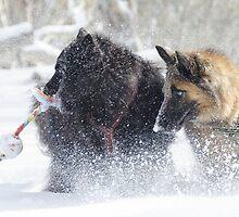 Belgian Shepherd snow action by EskiMojo