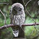 Light Phase Barred Owl... by RichImage