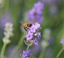 Lavender and a Bumble Bee by Ruta Rudminaite