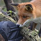 Hey mister fox...thats mine! by Nicole W.