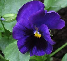 Little Purple Pansy by BlueMoonRose