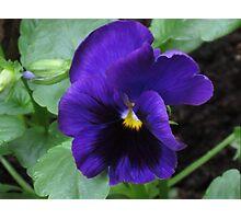 Little Purple Pansy Photographic Print