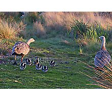 Cape Barren Geese & Chicks Photographic Print
