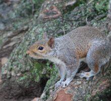Curious Squirrel  Sticker