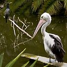Pelican and Cormorant by haymelter