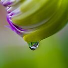Chrysanthemum Raindrop by DIANE  FIFIELD