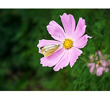 butterfly sitting on a pink flower Photographic Print