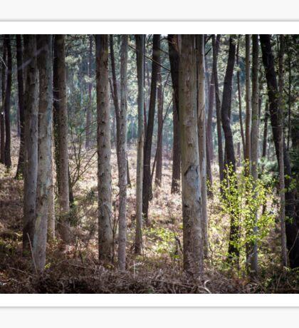 Eucalyptus forest Sticker