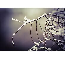 Snowy branches  Photographic Print