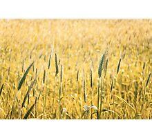 Grain field  Photographic Print