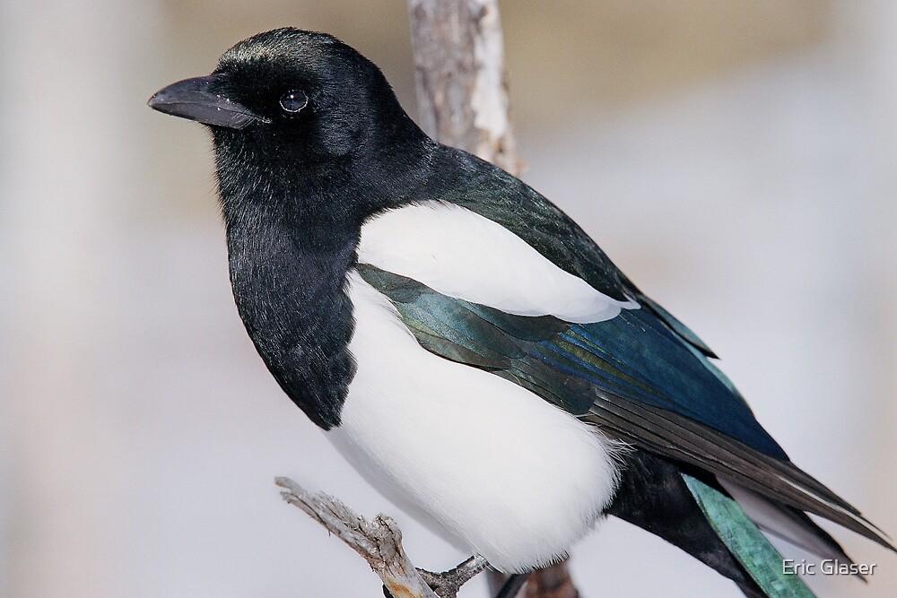 Black-billed Magpie by Eric Glaser