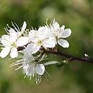 Spring Blossom by Dennis the Elder