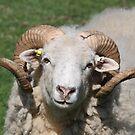 Curious Ram by Dennis the Elder