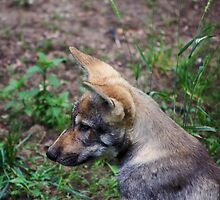Canis Lupus Lupus by Delphine Comte