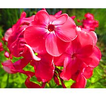 Vivid Pink Phlox Photographic Print