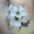Beautiful Blackthorn Blossom Brockadale by Dennis the Elder