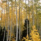Young Aspens by Eric Glaser